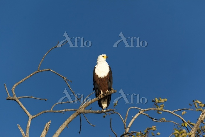 African fish eagle or African ・・・