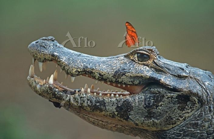 Spectacled Caiman (Caiman croc・・・