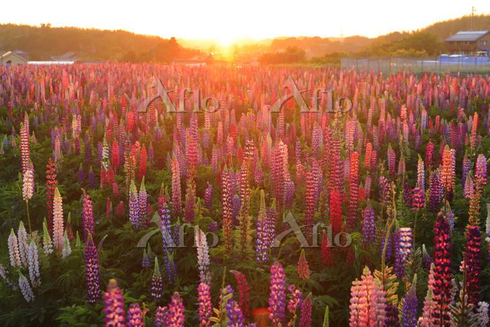 愛知県 夕刻のルピナスの花畑