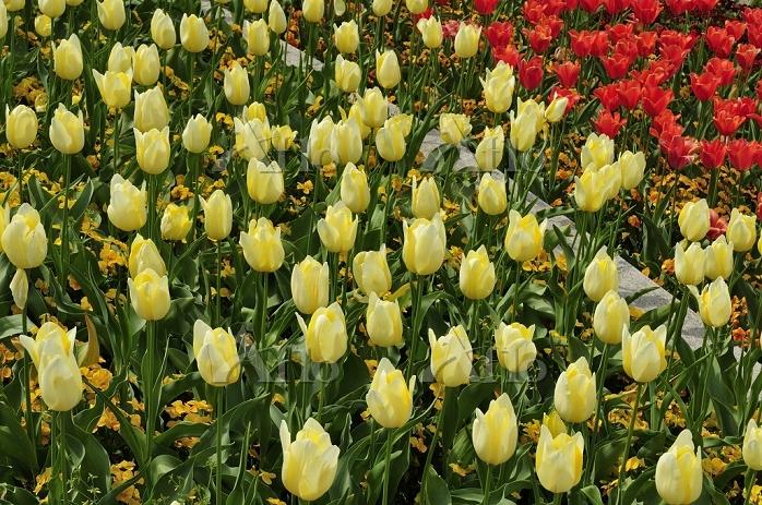 淡路島 国営明石海峡公園・花型花壇チユーリップ
