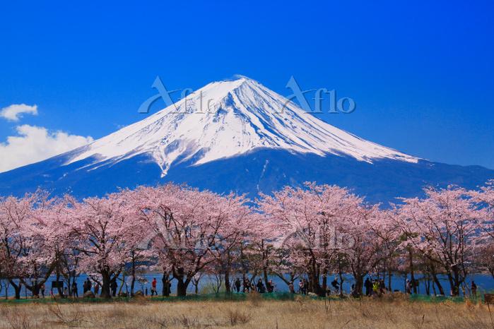 山梨県 河口湖湖畔の桜と富士山