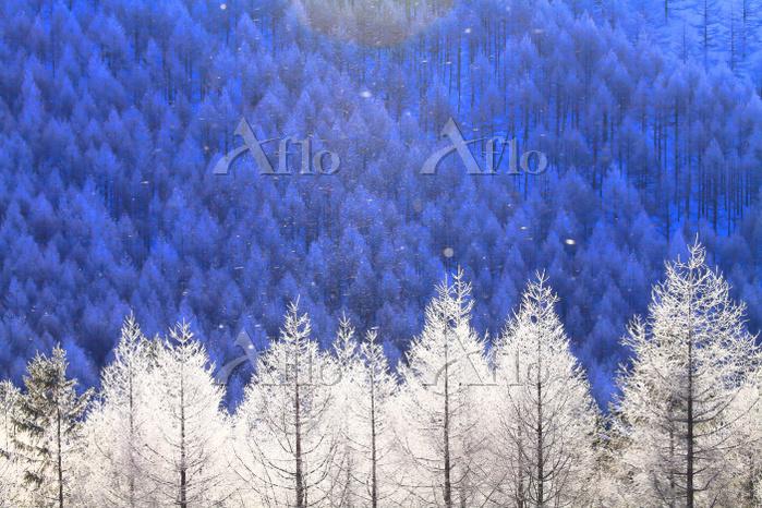 長野県 霧ヶ峰高原 カラマツ林の樹氷