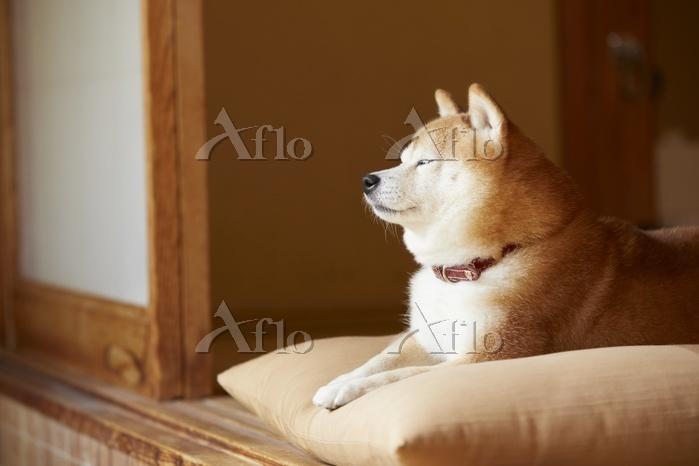 座布団の上でまどろむ豆柴犬