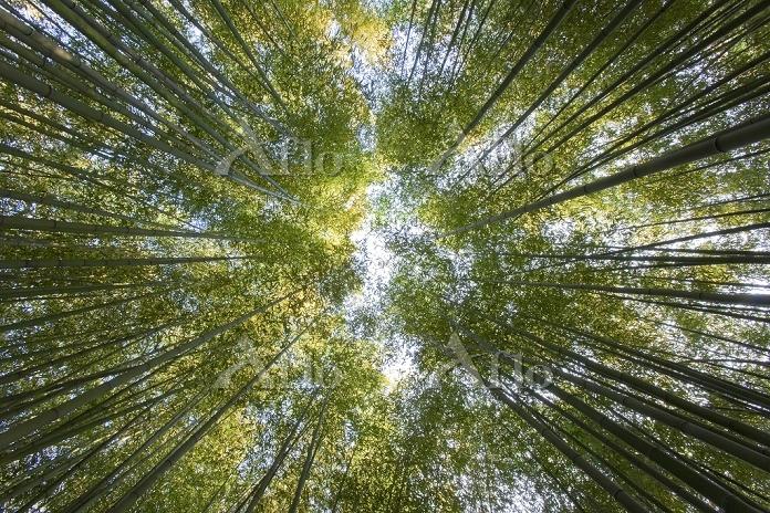 京都府 嵐山 朝日を浴びる竹林