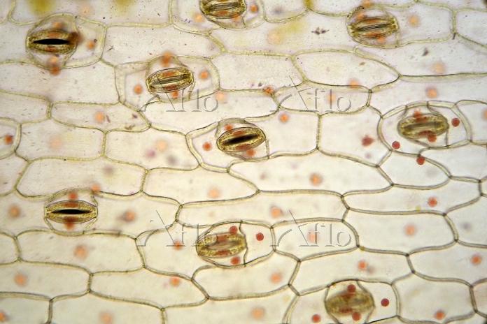 ムラサキツユクサ 葉の裏 気孔 酢酸カーミン染色 倍率100