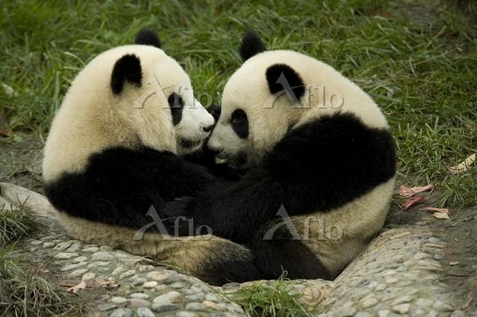 仲良し ジャイアントパンダ