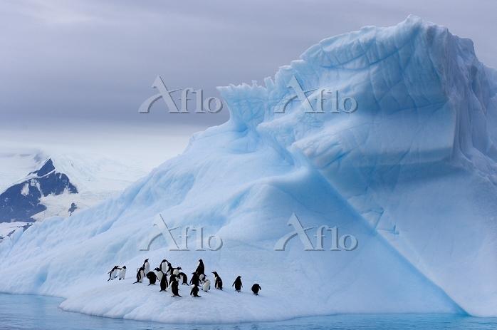 南極 ジェンツーペンギン