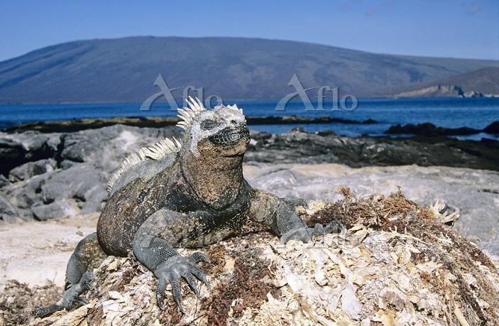 学名:Amblyrhynchus cristatus Mar・・・