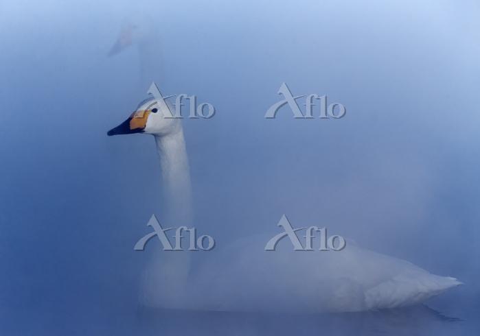 Whooper swan (Cygnus cygnus) s・・・