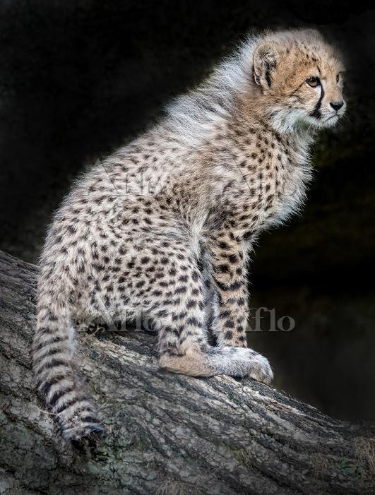 Cute little cheetah cub sittin・・・