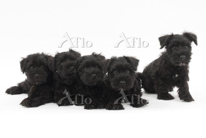 ミニチュアシュナウザー 5頭の仔犬