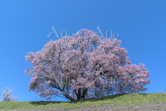 長野県 上ノ平城跡のサクラ
