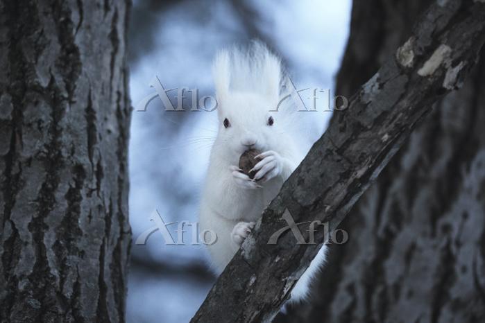 北海道 白いエゾリス