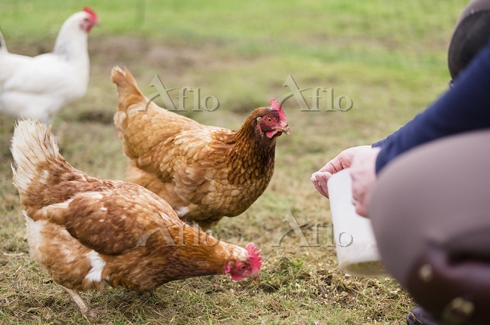 Domestic hens pecking at grain・・・