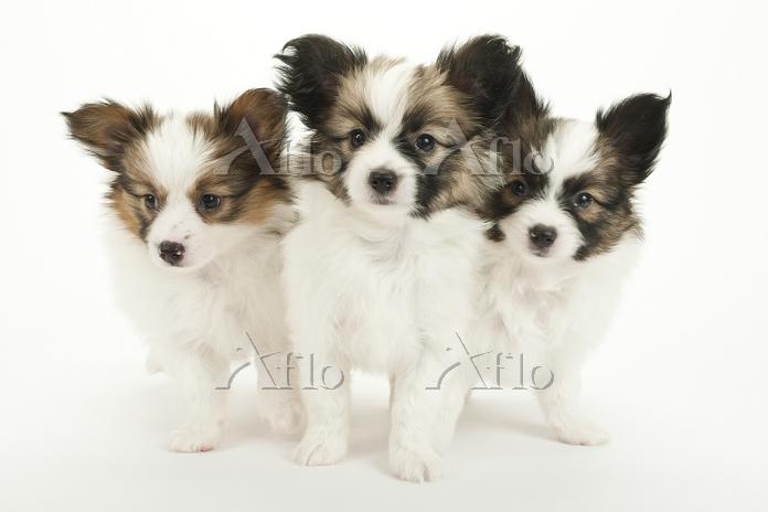 パピヨン 3頭の仔犬