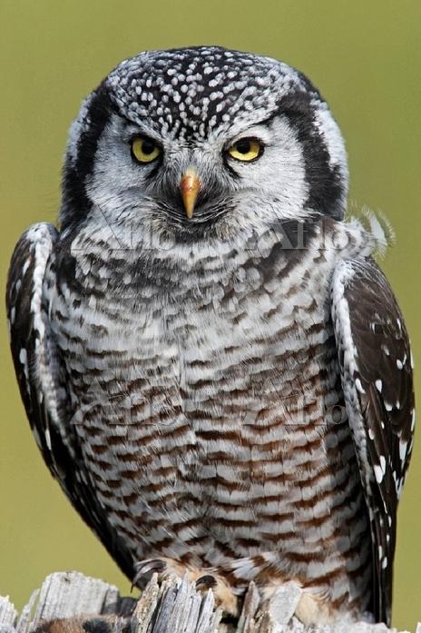 Northern Hawk Owl (Surnia ulul・・・