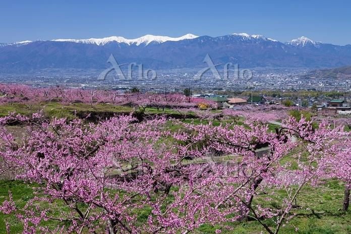 山梨県 桃の花と南アルプス