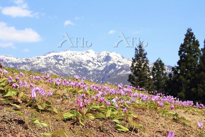 新潟県 カタクリの花と残雪の粟ヶ岳