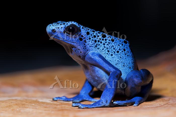 Azureus Dyeing Poison Dart Fro・・・