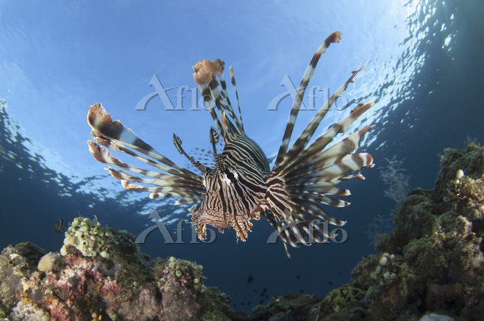 Facial view of a lionfish show・・・