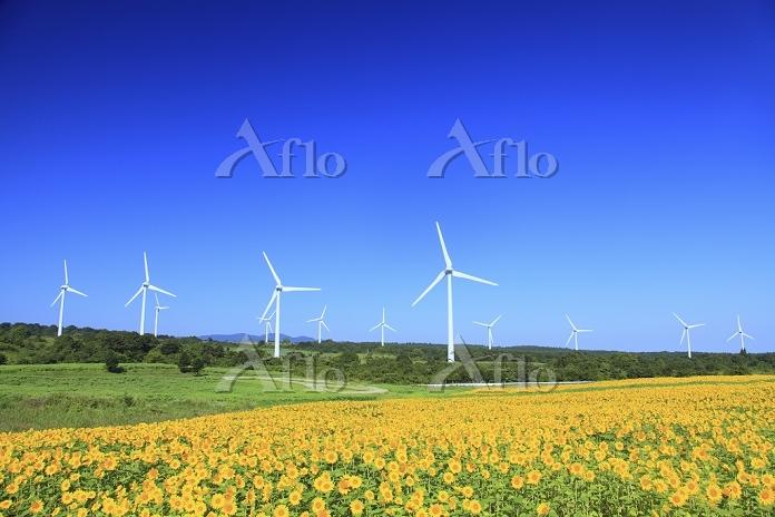 福島県 布引高原 ヒマワリと風力発電