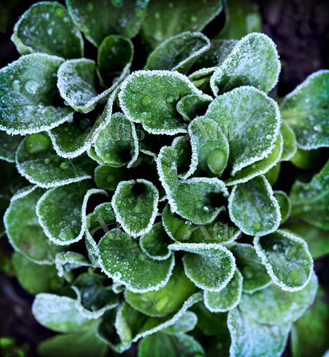 Lambs lettuce covered with fro・・・