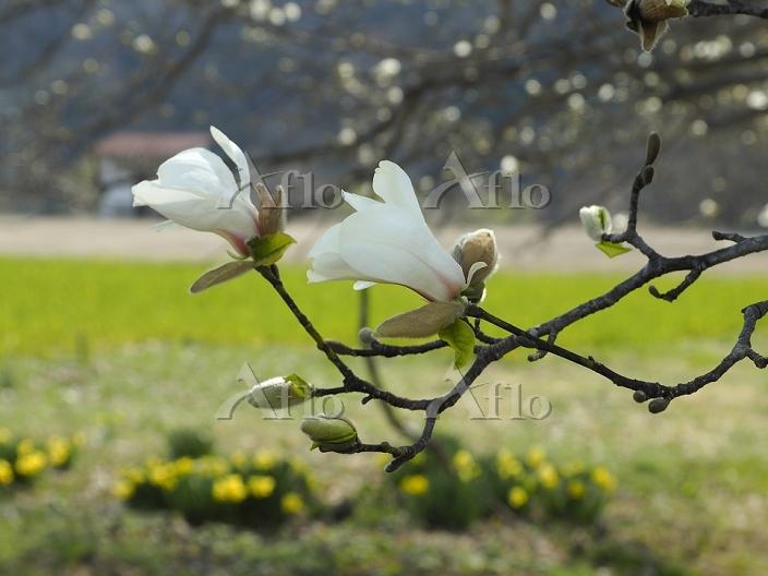 長野県 白馬村 四十九院のコブシの花