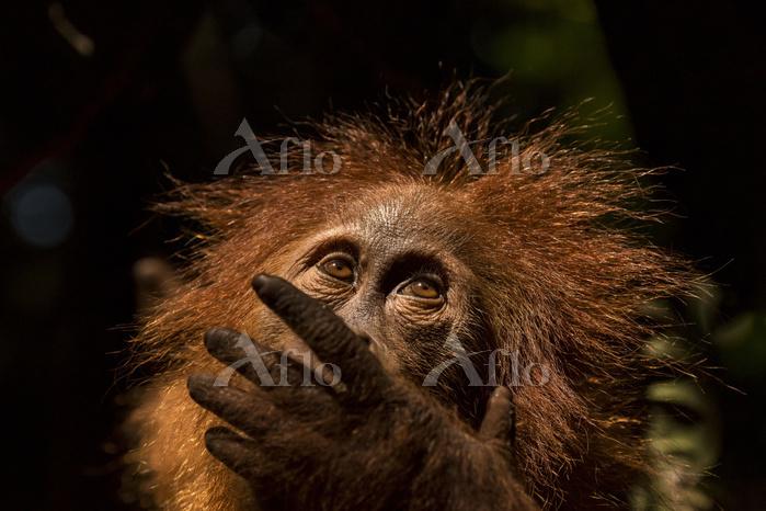 Orangutan in portrait, Photo b・・・