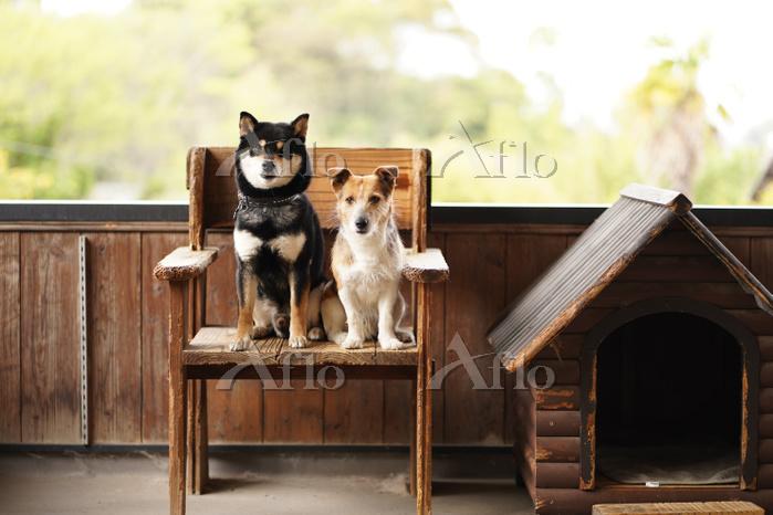 柴犬とジャックラッセルテリア