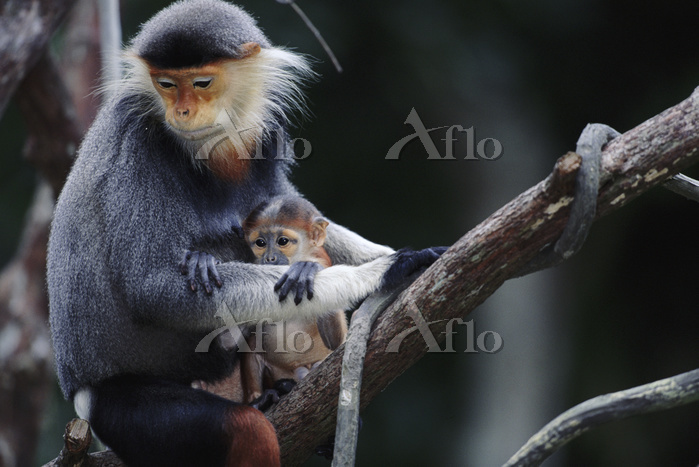 Douc langur with young {Pygath・・・
