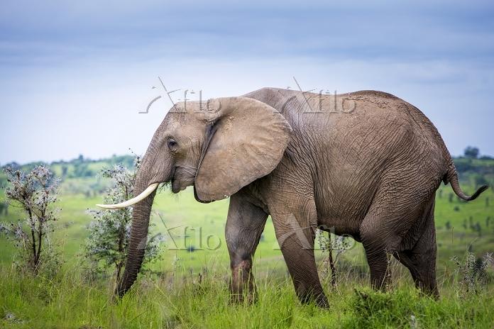 Elephant, Murchison Falls Nati・・・