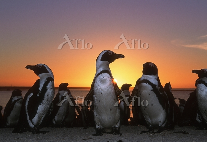 南アフリカ共和国 ダッセン島 ジャッカス・ペンギンの群れ