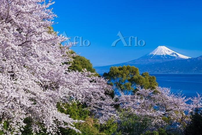 静岡県 沼津市 桜と富士山 駿河湾