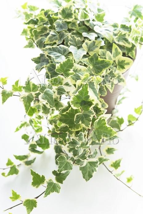 鉢植えのアイビー