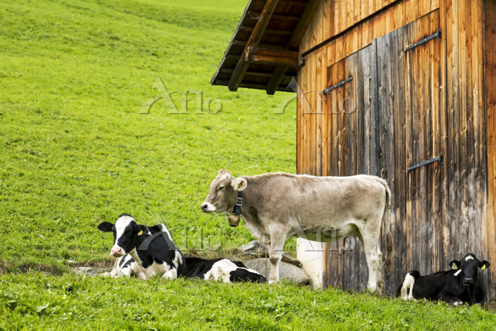 Cattle in sloped meadow with w・・・