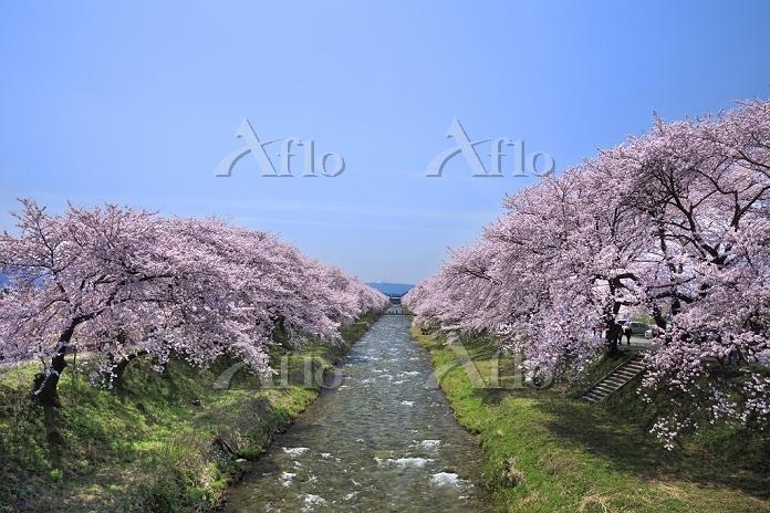 富山県 舟川べりの桜