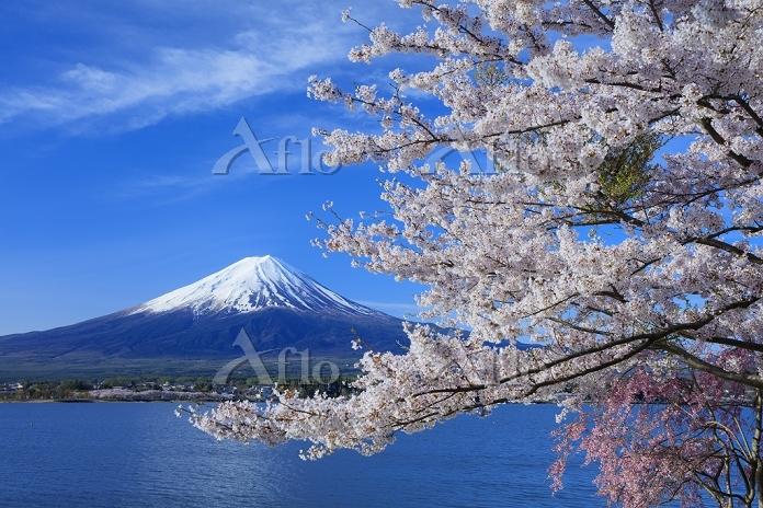 山梨県 桜咲く河口湖より富士山