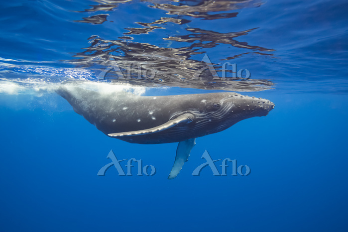 This Humpback whale (Megaptera・・・