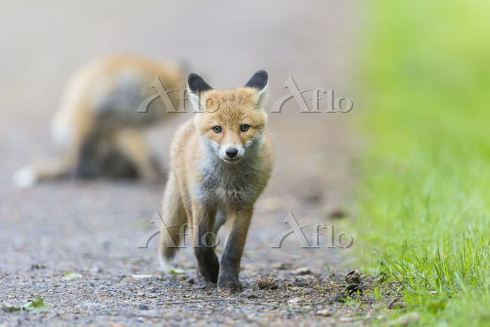 Red Fox, vulpes vulpes, Young ・・・