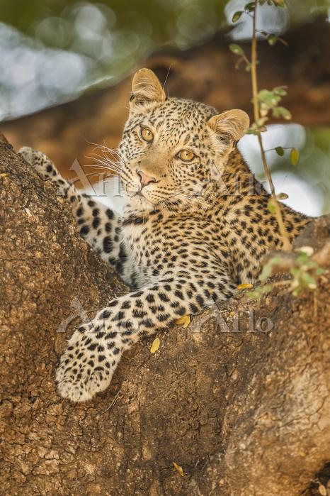 Leopard (Panthera pardus) in a・・・