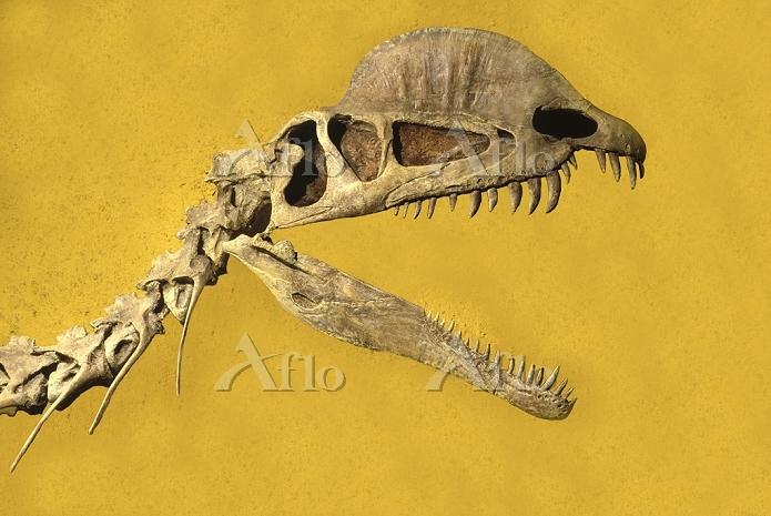 ディロフォサウルスの頭部骨格化石