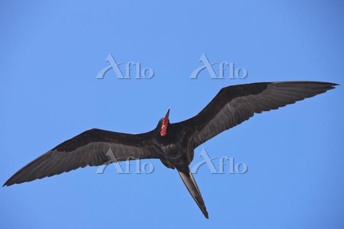 Magnificent Frigatebird in fli・・・