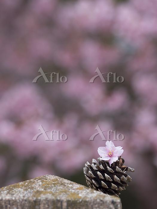 愛知県 河津桜