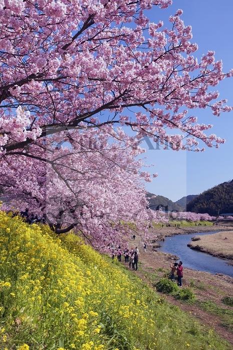 静岡県 青野川堤に咲くナノハナとみなみの桜