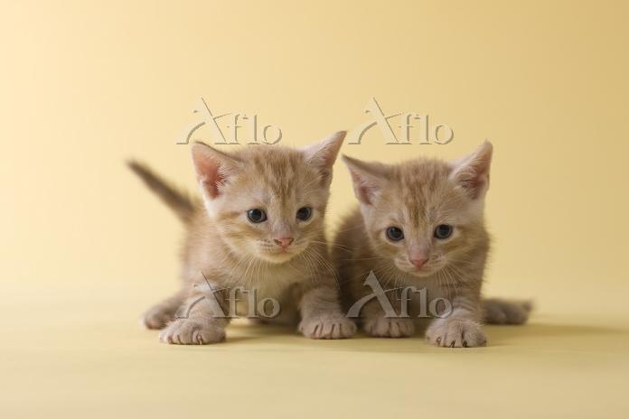 2匹のアメリカンショートヘアの子猫