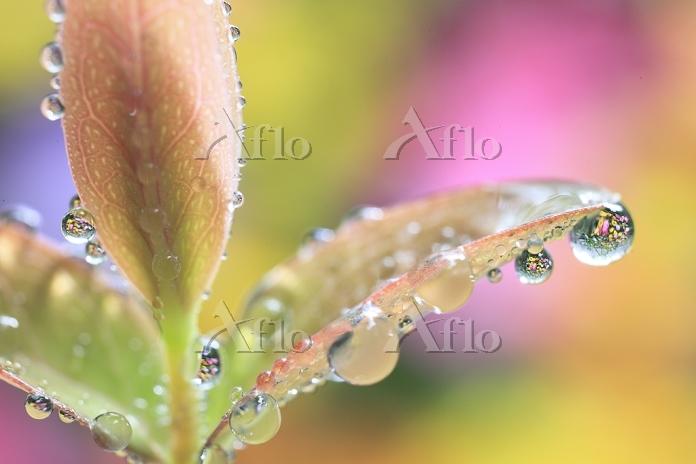 ヒペリカムヒデコートの水滴に映る花 雨上がり