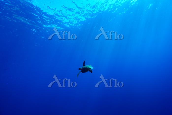 小笠原村 青い海を泳ぐアオウミガメ