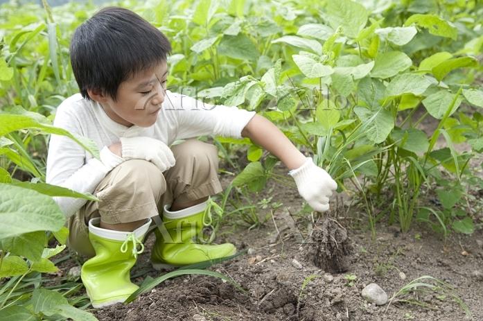畑の中で作物を収穫する日本人の男の子