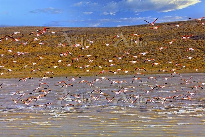 アルゼンチン フラミンゴの群れ