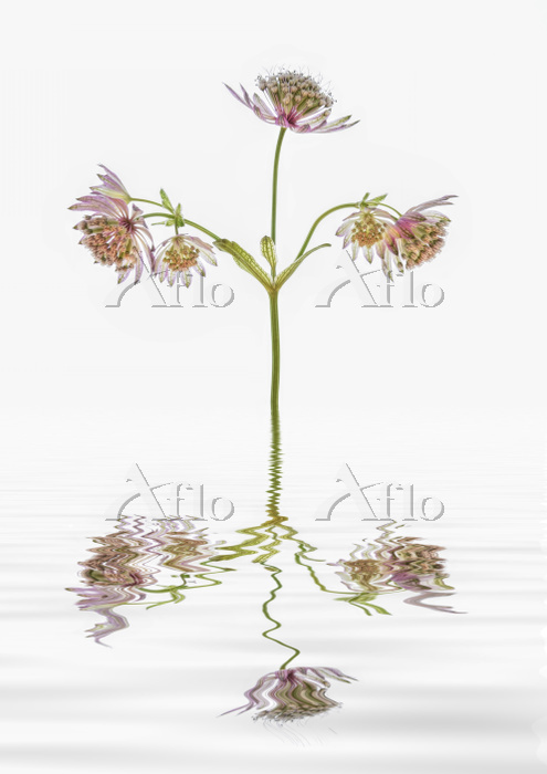 Astrantia flowers reflected in・・・